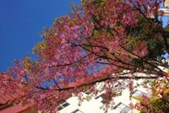 ホテル前の紅山桜